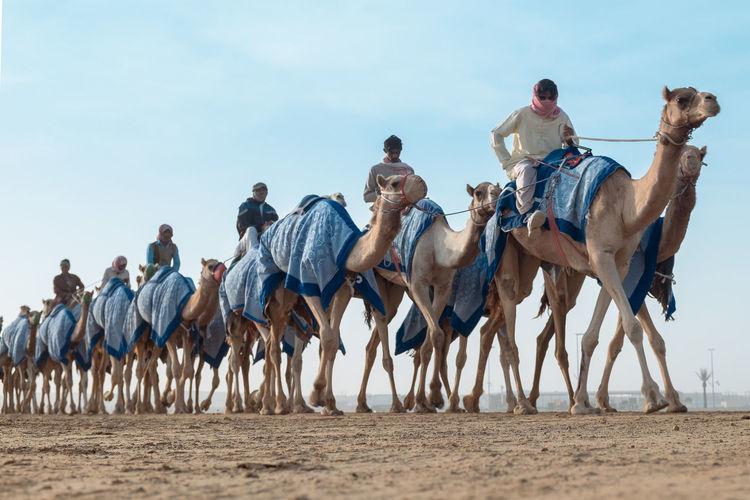 Camels on