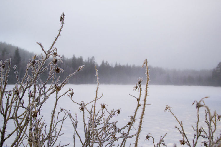 Frozen plants against sky during winter