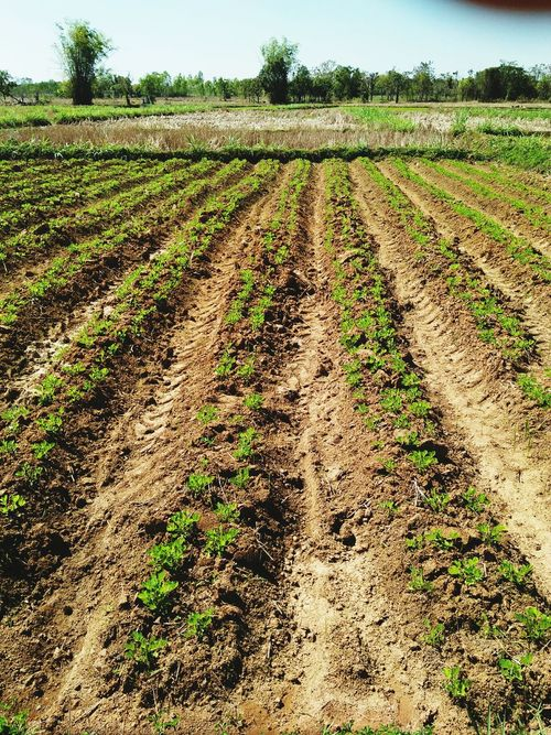 Peanut plant Agriculture Field Growth Crop  Rural Scene Day Tree Nature Vegetable Landscape No People Outdoors Beauty In Nature Sky Food Freshness Penuts Tree Penutbutter Penut Plant Life Famer Farm Cropping Trees And Nature Agricultural Land