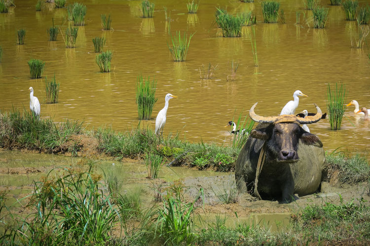 Cattle egrets resting on a water buffalo in a muddy river next to a rice field Animal Themes Awkward Birds Bubalus Bubalus Bubalis Bubulcus Ibis Cattle Egret Cattle Egrets Filipino Culture Friends Friendship It's More Fun In The Philippines Mud Muddy Muddy Water Palawan Palawan Philippines Philippines Photos Puerto Princesa River Bank  Sabang Stuck In The Mud Symbiosis Used Wildlife