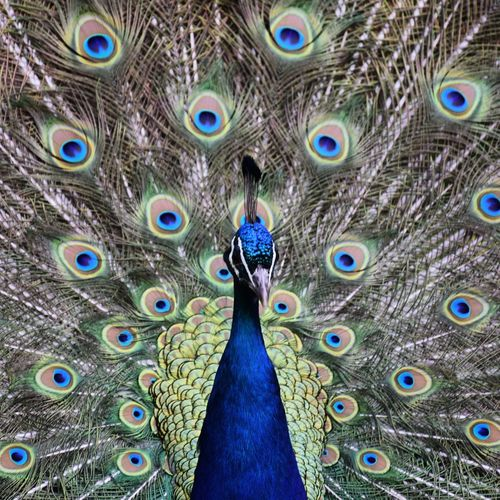 Close-up of peacock with feathers fanned out