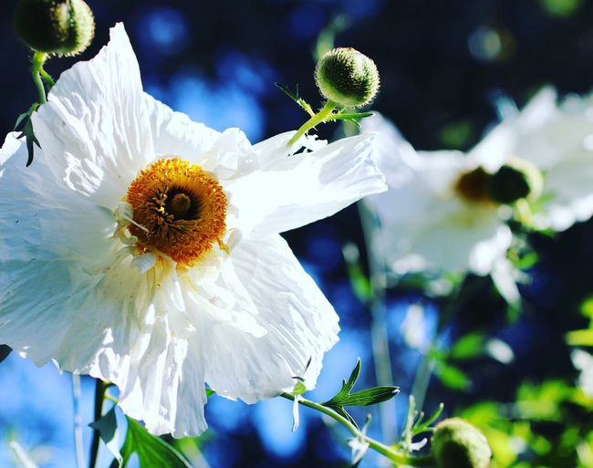 Aliens in my backyard. Flower Beauty In Nature Freshness Fragility Close-up Blooming No People Nature Fried Egg Flower Matilija Poppy
