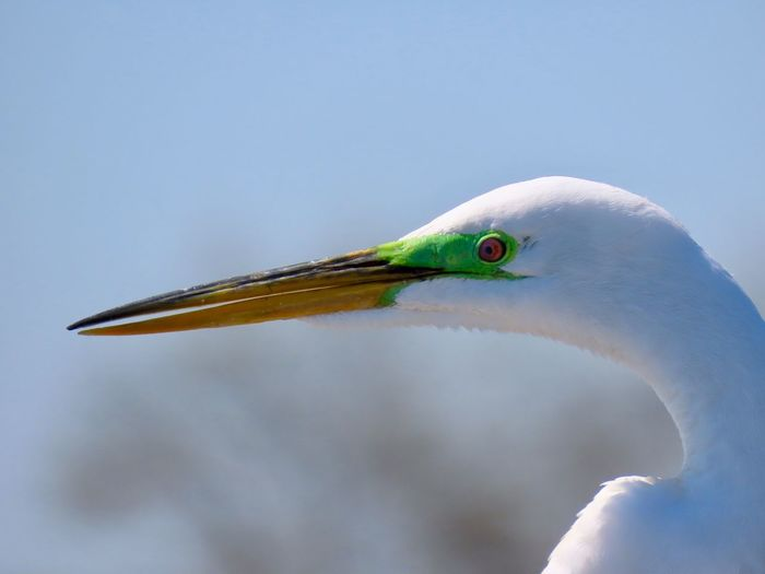 Great egret headshot close up side view focus on the foreground Birds of EyeEm beauty in nature outdoors animal themes birdwatching Bird Animal Wildlife Animal Body Part No People