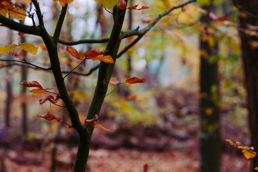 Nature Growth Autumn Focus On Foreground No People Leaf Beauty In Nature Close-up Day Change Outdoors Tree Fuji-xe2s Showcase: November Tenebrio.photos Zeiss60mm Autumn Colors