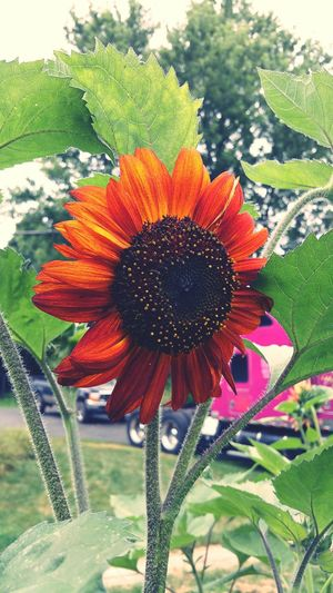 Beautiful sun flower from my yard Taking Photos Sunflower Sunflower🌻 Beautiful Outside Nature EyeEm Nature Lover