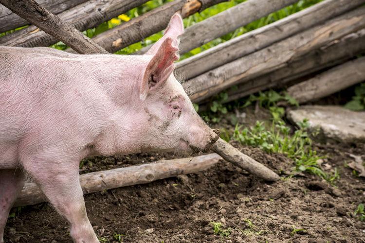 Pig on pig pen