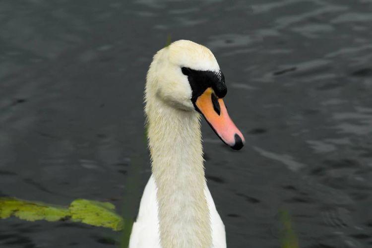 One Animal swan Animal Wildlife Bird Close-up