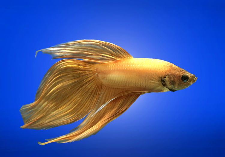 Golden Siamese fighting fish isolated on blue background. Fish Aquarium Nature Siamese Animal Beautiful Betta  Aquatic Tail Motion Tropical Pet Colorful Aggressive Beauty Background Color Luxury Black Water Domestic Blue Splendens Dragon Exotic Dress Fancy Fighting Swimming FIN Power Moon Fight Half Action Abstract Thailand Scale  Closeup Moving Thai Biology Movement Metallic Face Art Yellow Pla-kad Gold Golden