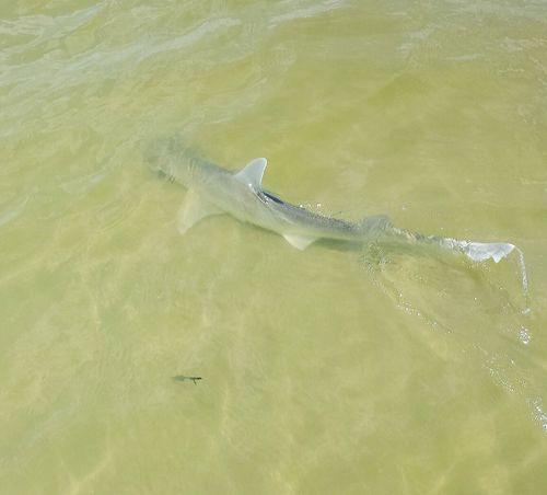 Bonnet head shark hhi First Eyeem Photo Hilton Head Island South Carolina Layers And Textures Islandlife Beach Life Shark Protecting Where We Play Animal Photography Sharkattack