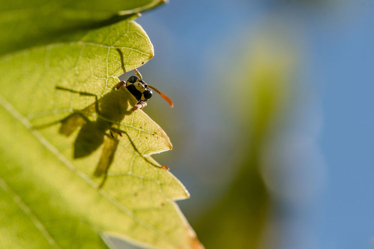 wasp Insect