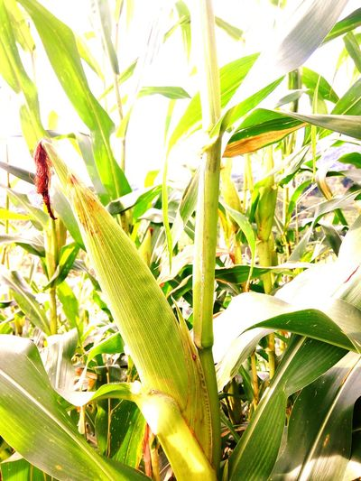"""""""Mais"""" or """"Maize"""" Philippines Nature Photography Lifeasiseeit Mobilephotography Sergio Osmena Hidden Gems  Colour Of Life"""