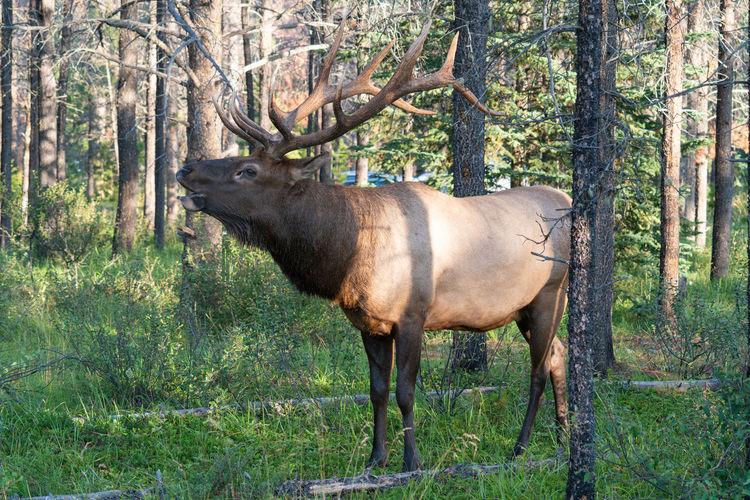 Moose, alces alces, jasper national park, alberta, canada