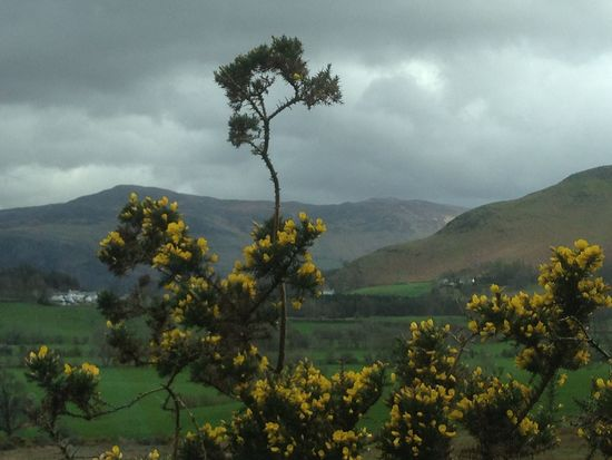 Field Gorse Gorse Bush Green Green Color Lake District Landscape Outdoors Rainy Days Rural Scene Yellow