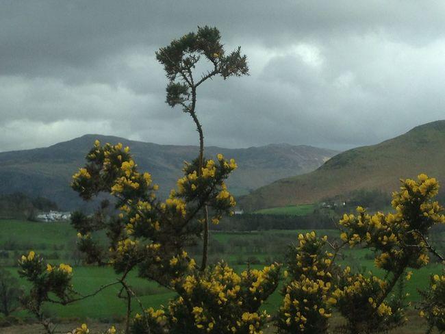 Field Gorse Gorse Bush Green Green Color Lake District Landscape Outdoors Rainy Days Rural Scene Yellow