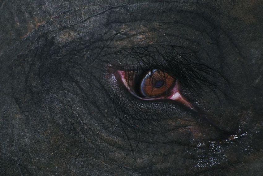 elephant's eyes Extreme Close-up Elephant's Eye Eyeball Human Eye Eyesight Sensory Perception Looking At Camera Portrait Galaxy Close-up This Is My Skin