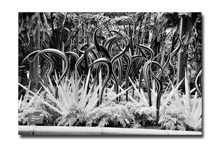 Chihuly In The Garden 20 Atlanta Botanical Gradens Atlanta, Ga. Sculptor : Dale Chihuly Neon Glass Sculptures Outdoor Art Exhibition Open-air Museum Neon Black&Green StripedHerons With Icicle Clusters Glass Art Neon Glass Tubing Schrubs & Ferns Monochrome Photograhy Monochrome Gardens Black & White Black & White Photography Black And White Collection  Black And White Abstract Photography Abstract Botany Glass And Nature