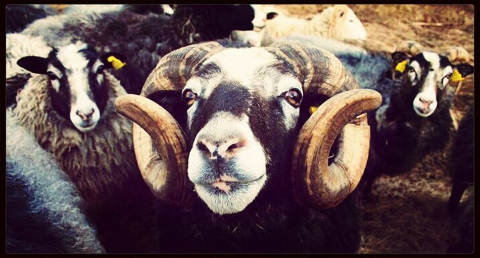 Sheep @ grandma & grandpa Animals Animal Sheep