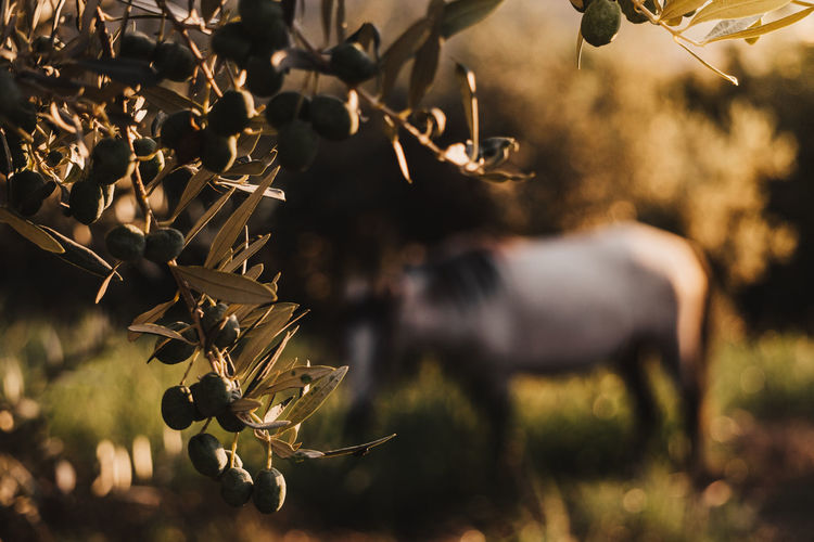 Close-up of olive tree with horse in background on field