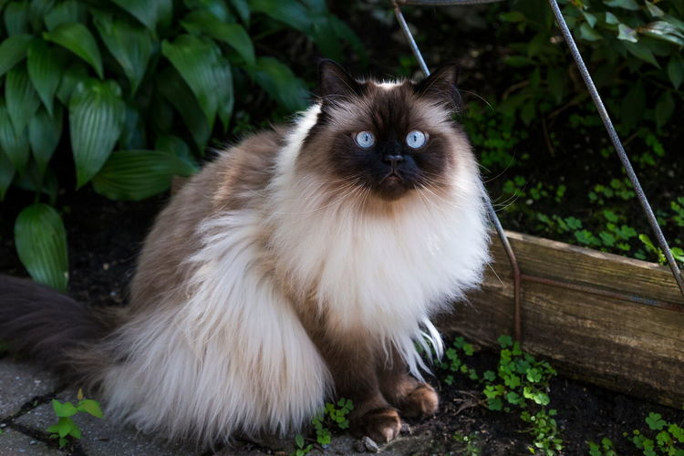 Chocolate point doll-faced himalayan cat sitting in garden staring intently Himalayan Cat Doll-faced Chocolate Point Domestic Portrait Cat Feline Looking At Camera Staring Blue Eyes Fluffy Purebred Breed Intensity Long Haired Cat Brown Faced Pets One Animal Domestic Cat Softness Gorgeous Stunning Beautiful