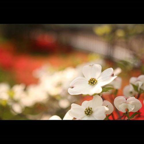 ハナミズキ ハナミズキ 花水木 アメリカヤマボウシ クラウドナイン Cornus florida Dogwood 仙台市 花 植物