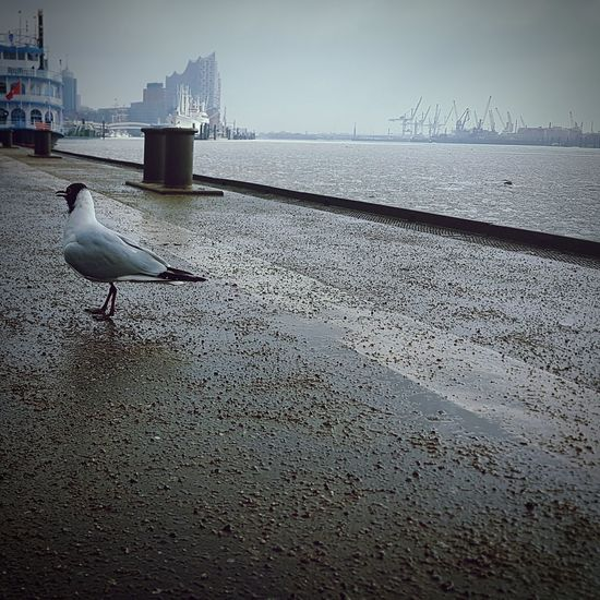 seabird next to me Hamburg Hamburg Harbour Harbour Harbour View Weather Typical Hamburg Nature Photography EyeEm EyeEm Best Shots Focus On Foreground Focus Light And Shadow Cold Temperature View Ambiance Frosty Elbphilharmonie Water Elbe Elbe River Port Bird Water Sea Seagull Animal Themes Sky Sea Bird Swimming Animal