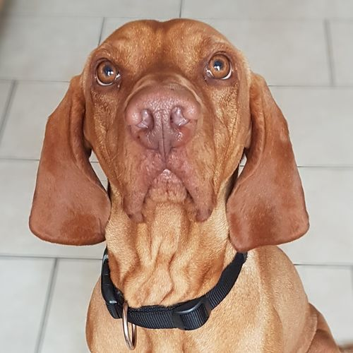 what to eat ... I'll look at you... Dogslove Hund Vizsla Fotografie Magyar Vizsla Dogs Of EyeEm Haustier Pet Fotografia EyeEmNewHere Pets Portrait Dog Looking At Camera Standing Brown Front View Close-up