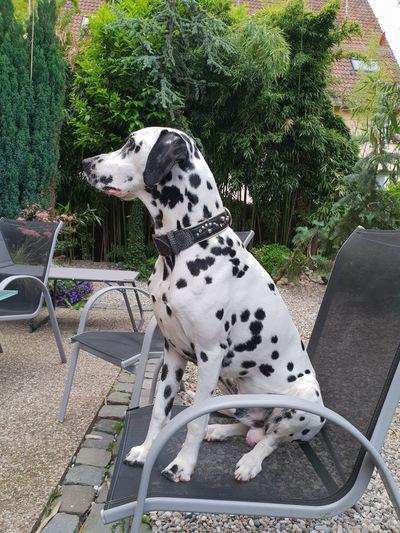 dalmatien Pets