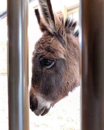 EyeEm Selects Zoo Photography  ZOO-PHOTO Zoo Animals  One Animal Animal Themes Animal Head  Day Livestock No People Close-up Donkey Donkeys JACKASS