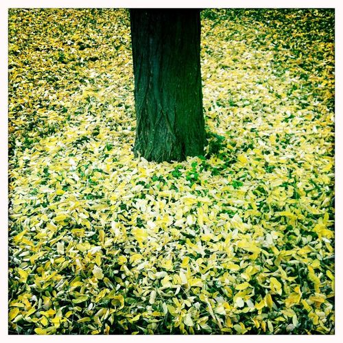 Autumn leaves under tree / Herbstlaub unter einem Baum Wald Gelb Blätter Laub Herbst Plant Transfer Print Nature Auto Post Production Filter Grass Plant Part Day Leaf Yellow Autumn Green Outdoors