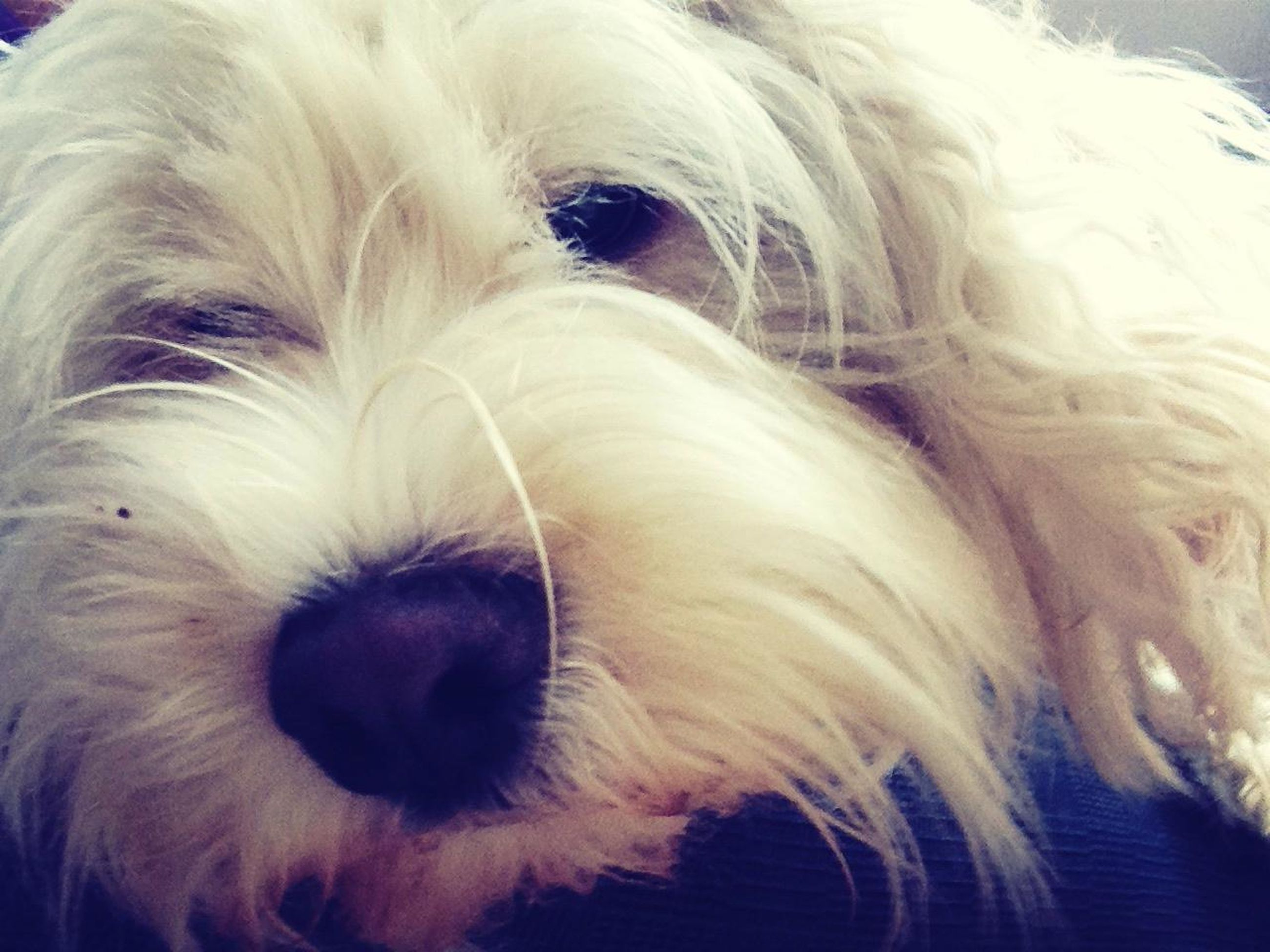 dog, domestic animals, pets, one animal, animal themes, mammal, indoors, animal hair, close-up, animal head, animal body part, no people, animal nose, relaxation, resting, white color, snout, pampered pets, loyalty, puppy