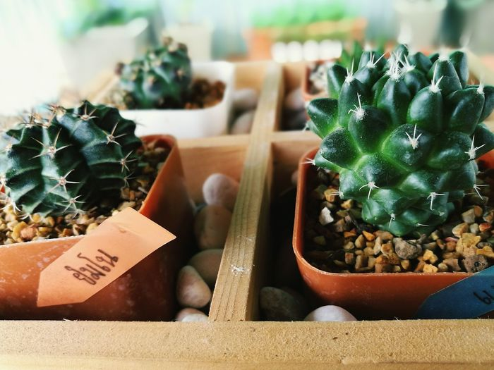 Close-up of cacti on table