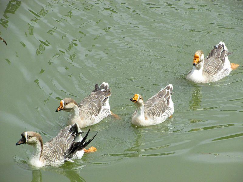 Bird Animals In The Wild Duck Water Natureza Natureza 🐦🌳 Beauty In Nature Gansos Patos Ducks Lago