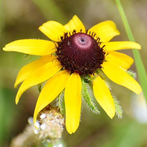 Alabama flower