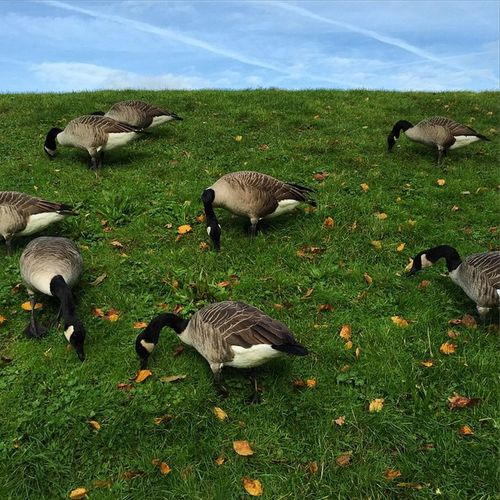 Pause Bird Landing Duck Ducking Oies Atterrissage
