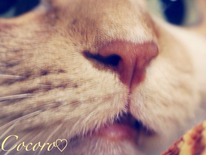 Cat Cat♡ Mycat Cat Lovers 猫 ウチの姫様 茶トラ猫 猫の鼻 Photography Animal