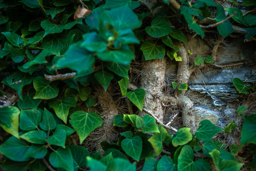 Pneumatophore Root Nature Wall Aerating Root Air Roots Backgrounds Breathing Roots Close-up Day Fragility Garden Green Color Growth Hedera Italy Ivy Leaf Nature No People Outdoors Plant Stone Wall Trunk Vine