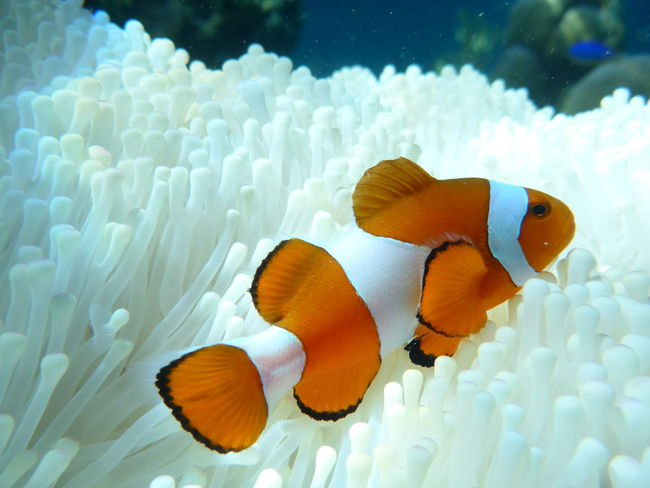 Underwater Sea Life Swimming Coral Close-up Water Nemo Nemo Fish Justkeepswimming  Clownfish Anenome EyeEmNewHere Live For The Story The Great Outdoors - 2017 EyeEm Awards A New Beginning