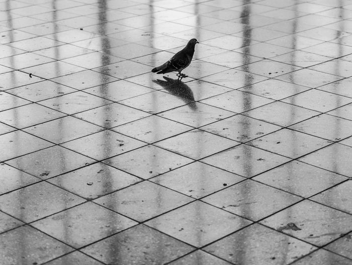 Black And White Pigeon Lonely Minimalism Minimalistic Pattern Reflection Animal Animal Themes Bird Animal Wildlife Animals In The Wild Vertebrate One Animal Day Perching No People High Angle View Outdoors Focus On Foreground Nature Sparrow Full Length Songbird  Selective Focus Zoology Flooring