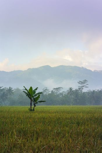Nature Sky Landscape Day Field Outdoors Grass Tranquility Farm Mountain Agriculture Scenics Beauty In Nature Scarecrow No People Rice Paddy Rural Scene Mountain Range Banana Tree Loneliness Lone Tree Grey Sky Misty Morning Horizon Over Land Layered INDONESIA Indonesia Photography  Indonesia Landscape Fine Art Art Photography