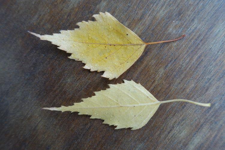 Birkenlaub Birkenblätter Leaf Yellow Close-up