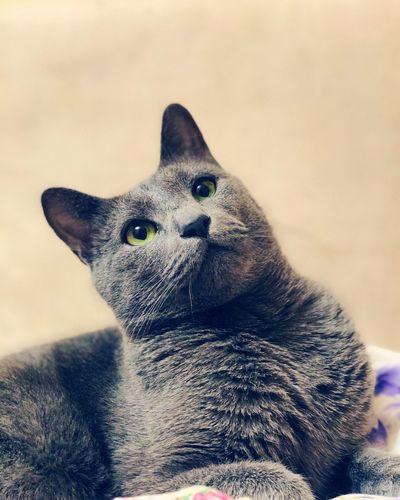 Domestic Cat Cat Port Russia Russian Blue Cat