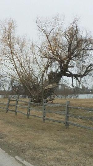 A twisted tree.