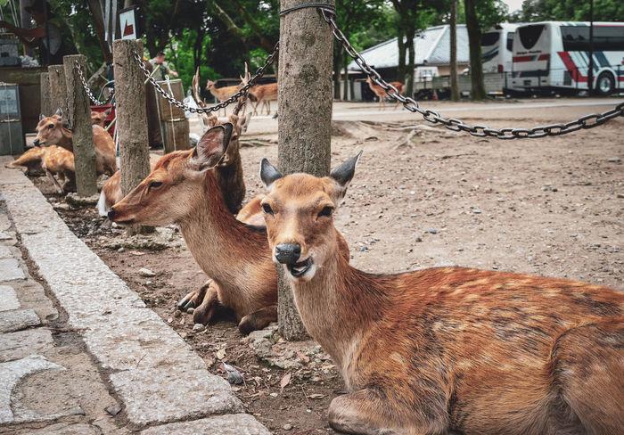 Nara Deer Animal Nara Animal Smile No People Japan Pets