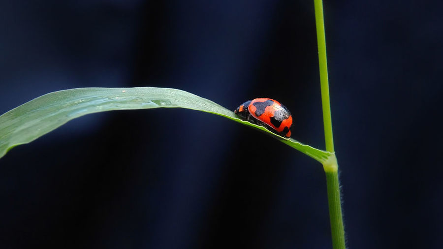 Ladybug in the dark Ladybug🐞 Animal Themes Animal Wildlife Animals In The Wild Beauty In Nature Close-up Day Fragility Green Color Growth Insect Insect Photography Ladybug Leaf Nature No People One Animal Outdoors Perching Plant Red Rijall Rijall Blues Rijallblues Tiny