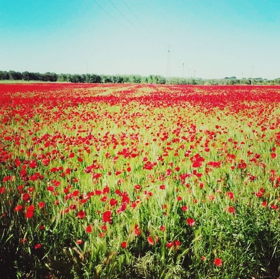 Il paradiso 😍 Flower Red Nature Agriculture Beauty In Nature Sky Day First Eyeem Photo