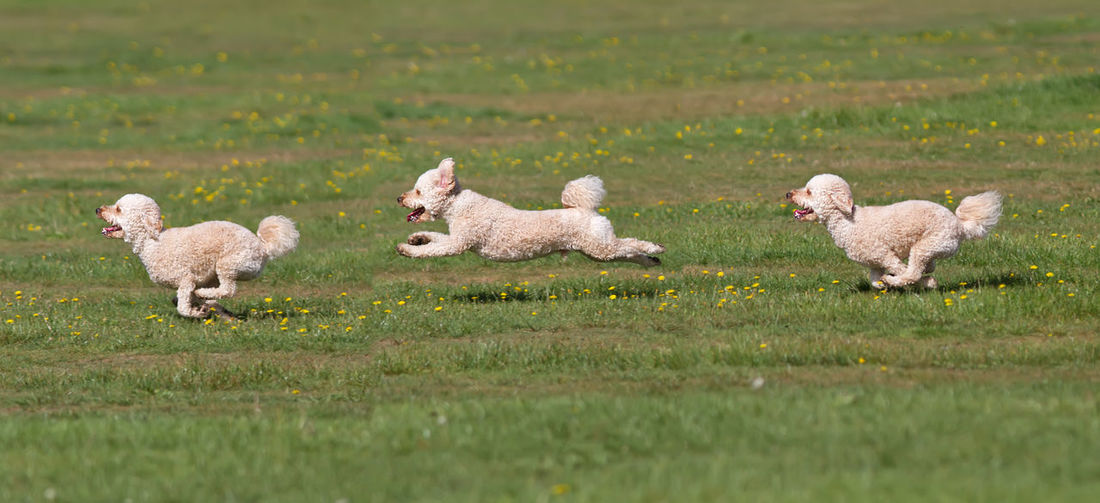 Sheep and dog on field
