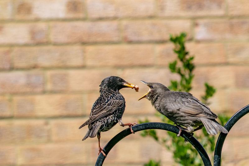 Garden wildlife as a juvenile starling bird, sturnus vulgaris, demanding food from adult