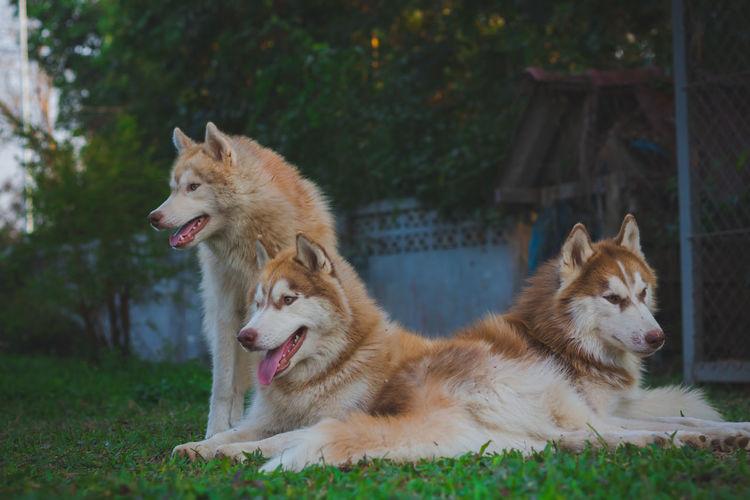 Dogs relaxing in backyard