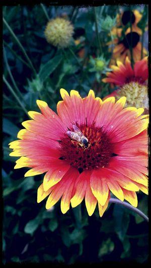 Bee 🐝 Flower Collection Flowerporn EyeEm Nature Lover EyeEm Gallery EyeEm Best Edits Late Afternoon Bee Collecting Pollen