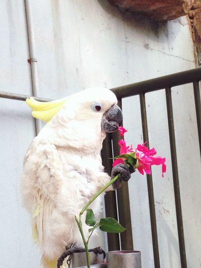 鹦鹉吃花。